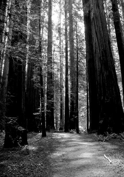 black&whiteRedwoods