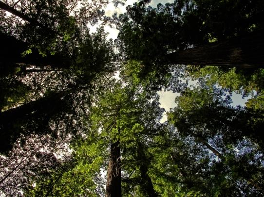 RedwoodsMeetingOverhead